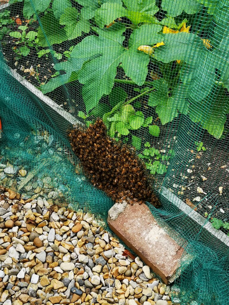 Bee swarm in vegetable patch